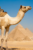 Half Camel Pyramids All Row Stock Image