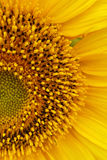 A half-circle. One half of a sunflower Royalty Free Stock Photo