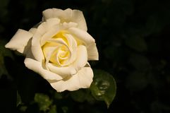 Half closed white rose with dark background stock photography