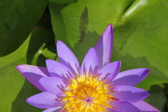 Half closeup beautiful purple water lily Stock Image