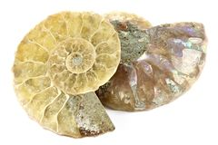 Half cut ammonite. Isolated on white background royalty free stock photos