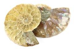 Half cut ammonite Royalty Free Stock Photos