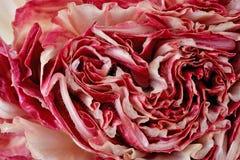 Half cut fresh radicchio as background Royalty Free Stock Image
