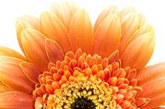 Half daisy Royalty Free Stock Image