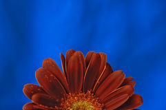 Half a Daisy. Close-up of orange Gerbera Daisy with water drops on it. Range of blue colours in the background stock photo