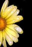 Half Daisy Royalty Free Stock Photo