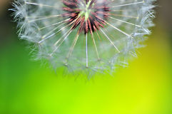 Half dandelion. In green and yellow background Stock Photo