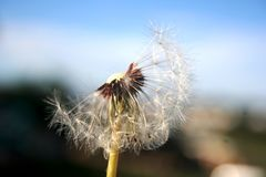 Half dandelion. This image captures the spirit of spring in the heart of Africa royalty free stock image