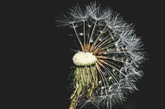 Half dandelion, make a wish royalty free stock images