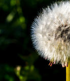 Half dandelion ready to be blown away Royalty Free Stock Images
