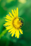 Half-dehisced yellow dandelion Royalty Free Stock Photo