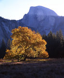 Half Dome & English Elm. English Elm tree in Yosemite Valley, Yosemite National Park stock photos
