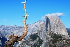 Half Dome and gnarled old tree. Half Dome and a gnarled old tree are highlighted on a sunny day in Yosemite, California Stock Photography