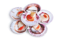 Half a dozen fresh opened scallop. Shell isolated on white background Stock Image