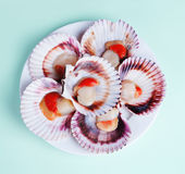 Half a dozen fresh opened scallop shell on white plate. Isolated on light background Stock Images