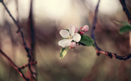 Half the dried-up Apple branch with flowers. Royalty Free Stock Images