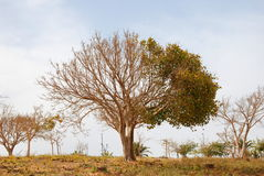 Half dry tree Royalty Free Stock Photography