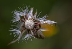 Half empty dandelion seed head with dew drops stock photo