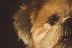 Half face Lhasa Apso Dog Royalty Free Stock Photo