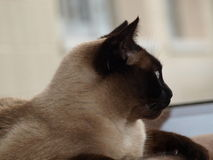 Half-face Siamese Cat Stock Images