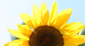 Half of a flower. A bright sunflower royalty free stock photo