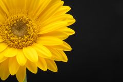 Yellow gerber daisy in black background. Half flowerhead yellow gerber flower on black background royalty free stock photos