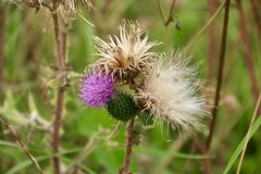 Late bloomer thistle royalty free stock photography