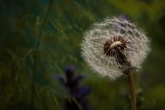 Half flown dandelion late in the evening on the field. royalty free stock photo