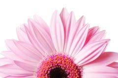 half foto för tusenskönagerbera Fotografering för Bildbyråer