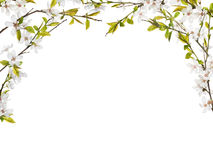 Half frame from flowers on spring tree branches. Cherry tree flowers half frame isolated on white background stock images