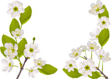 Half frame with white cherry flowers Stock Photography