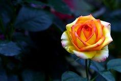 Half geopende mooie in de schaduw gesteld nam rood en roze in de lentetuin toe royalty-vrije stock afbeeldingen