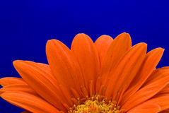 Half gerbera Royalty Free Stock Photography