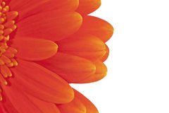 Half of gerberas Royalty Free Stock Photo