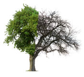 Half green half bare tree stock image