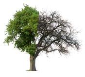 Half groene halve naakte boom Stock Afbeelding