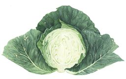 Cabbage, watercolor painting on white background. Half of head of cabbage, watercolor painting on white background. Botanical illustration royalty free illustration