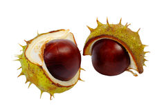 Half horse chestnut. Split in half prickly fruit of the horse chestnut stock photo