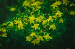 Hypericum Hypericum yellow flowers in the predawn twilight. Summer forest glade half an hour before sunrise. Shooting at eye level royalty free stock photography