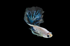 Half moon betta fish. Isolated betta fish on black background Royalty Free Stock Photography