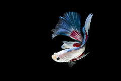 Half moon betta fish. Isolated betta fish on black background Stock Photo