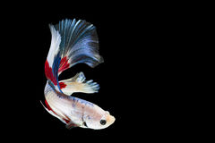 Half moon betta fish. Isolated betta fish on black background Royalty Free Stock Photo