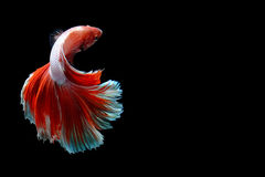 Half-Moon Betta isolated on black. Beautiful color betta isolated on black Royalty Free Stock Images
