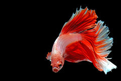 Half-Moon Betta isolated on black. Beautiful color betta isolated on black Stock Photography