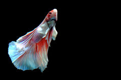Half-Moon Betta isolated on black. Beautiful color betta isolated on black Stock Photos