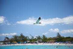 Half Moon Cay bird life. Half Moon Cay,seagull flies over the cove Royalty Free Stock Photos