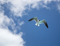 Half Moon Cay seagull overhead Stock Photography