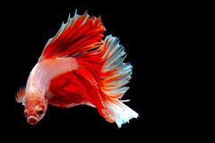 Half-Moon Plakat-HMPK isolated on black. Beautiful color betta isolated on black Stock Photos