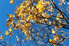 Half-naked maple branch. Falling foliage. Late, colorful autumn. October royalty free stock photography