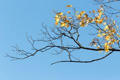 Half-naked maple branch. Falling foliage. Late, colorful autumn. September and October stock image